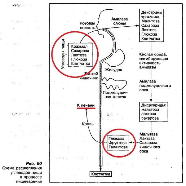 Схема расщепления углеводов