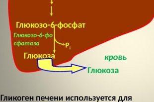 Гликоген в печени и в мышцах, синтез гликогена, запас гликогена