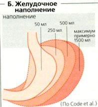 Растянутый желудок,уменьшение желудка,растянут желудок что делать,как убрать растянутый желудок,может ли растянутый желудок уменьшиться