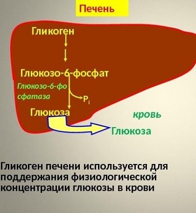 Гликоген: энергетические «кладовые» тела