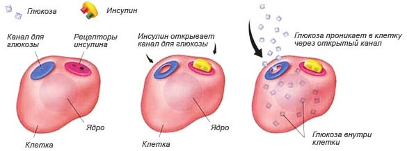Инсулин и эффективное похудение: как гормон связан с набором жира?