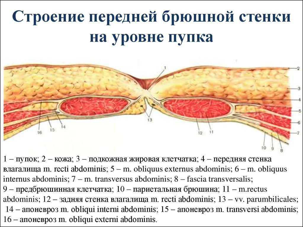 А вы знаете, что находится за пупком: как он выглядит с другой стороны + рисунок его строения изнутри