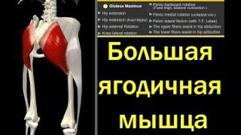 В теле 2 главные мышцы: миокард и ягодичная